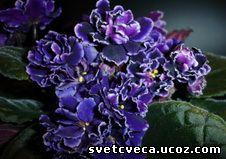 Africke ljubicice - Africke ljubicice - Kucno cvece - Svet ... Ljubicice Cvece